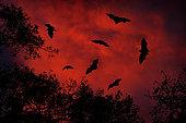 Indian Flying Fox (Pteropus giganteus) group flying in red sky during sunset, Yala National Park, Sri Lanka