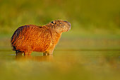 Capybara (Hydrochoerus hydrochaeris) close-up in water, Pantanal, Brazil