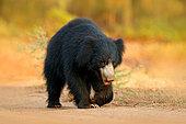 Sloth Bear (Melursus ursinus) walking on forest road, Ranthambore National Park, India