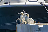 port where northern gannets nest on old boats or on pontoons, Carry le Rouet (13620), Provence-Alpes-Côte d'Azur Region, France,