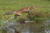Red fox (Vulpes vulpes), Young fox jumps over a water body, Netherlands