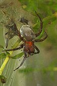 Water Spider or Diving Bell Spider (Argyroneta aquatica), captive, Germany, Europe