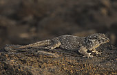 Cape verde giant gecko (Tarentola gigas gigas)