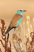 European Roller (Coracias garrulus), side view of an adult female perched on a dead trunk, Campania, Italy