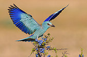 European Roller (Coracias garrulus), adult alighting on a Blackthorn with berries, Campania, Italy
