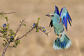 European Roller (Coracias garrulus), front view of an adult femlae in flight, Campania, Italy