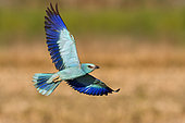 European Roller (Coracias garrulus), adult in flight seen from below, Campania, Italy