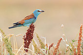 European Roller (Coracias garrulus), side view of an adult female perched on a Rumex crispus, Campania, Italy