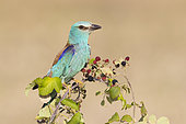 European Roller (Coracias garrulus), adult perched on a Wild Blackberry plant, Campania, Italy