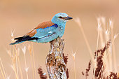 European Roller (Coracias garrulus), side view of an adult male perched on a dead trunk, Campania, Italy