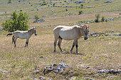 Przewalski's Horse (Equus ferus przewalski), stallion and foal, Takh, Le Villaret, Cévennes, Lozère, France
