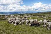 Sheep in summer pastures, Mont Lozère, Cevennes, Lozère, France