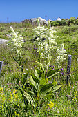 Giant False-helleborine (Veratrum album) in bloom, Cévennes, Lozère, France