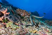 Colubrine sea krait ( Laticauda colubrina) in coral reef, Apo Island, Philippines, Asia