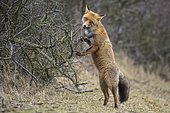 Red fox ( Vulpes vulpes) stands on the hind legs of a sea buckthorn hedge, Netherlands