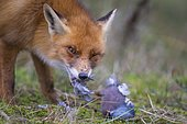 Red fox ( Vulpes vulpes) with captured wood pigeon, eating, Netherlands