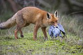 Red fox ( Vulpes vulpes) with captured wood pigeon in mouth, Netherlands