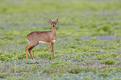 Steenbok (Raphicerus campestris), adult female standing on the ground, Mpumalanga, South Africa