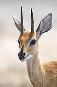 Steenbok (Raphicerus campestris), adult male close-up, Mpumalanga, South Africa