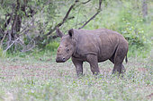 White Rhinoceros (Ceratotherium simum), a calf standing on the ground, Mpumalanga, South Africa