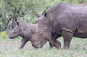 White Rhinoceros (Ceratotherium simum), a calf walking with its mum, Mpumalanga, South Africa