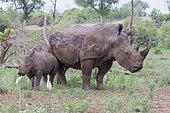 White Rhinoceros (Ceratotherium simum), adult female with a calf, Mpumalanga, South Africa