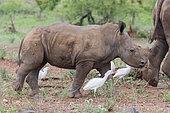 White Rhinoceros (Ceratotherium simum), a calf walking, Mpumalanga, South Africa