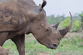 White Rhinoceros (Ceratotherium simum), close-up of an adult female, Mpumalanga, South Africa