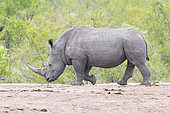 White Rhinoceros (Ceratotherium simum), side view of an adult male walking, Mpumalanga, South Africa