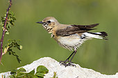 Northern Wheatear (Oenanthe oenanthe), adult female drying itself after a bath, Abruzzo, Italy