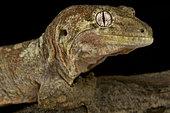 Northern mossy gecko (Mniarogekko jalu)