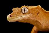 Crested gecko (Correlophus ciliatus)