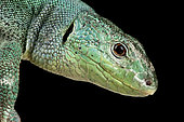 Balkan Green lizard (Lacerta trilineata dobrogica )