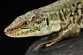 Italian wall lizard (Podarcis sicula bagnolensis)