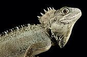 Kalam forest dragon (Hypsilurus nigrigularis)