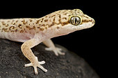 Speckled Thick-toed Gecko (Pachydactylus punctatus)