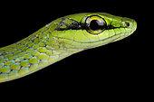 Emerald Snake (Hapsidophrys smaragdina)