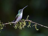 Andean Emerald (Amazilia franciae) on a branch, Colombia