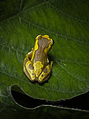 Hourglass Treefrog (Dendropsophus ebraccatus) on a leaf, central Panama, November