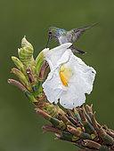 Blue-chested Hummingbird (Amazilia amabilis), searching for insects on Costus flower, Soberania National Park, Panama