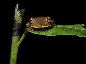 Rusty Treefrog (Hypsiboas boans), Yasuni National Park, Ecuador