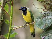 Inca Jay (Cyanocorax yncas), Ecuador