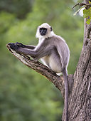 Langur gris des plaines méridionales (Semnopithecus dussumieri) sur uen branche, Forêt de Kabini, Inde