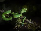 Green Palm-Viper (Bothriechis lateralis), Costa Rica