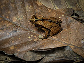 Leaflitter Toad (Rhinella alata), Guna Yala, Panama, February