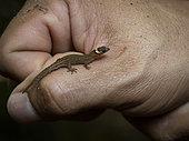 Dwarf gecko (Lepidoblepharis emberawoundule), adult male in the hand of Dr Abel Batista, who described it to Science in 2014. Guna Yala, Panama, February.