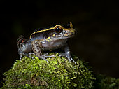 Gold-striped frog (Lithodytes lineatus), Yasuni National Park, Ecuador
