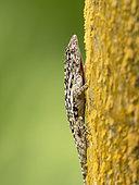 Lichen Anole (Anolis pentaprion), male, Isla Bastimentos, Bocas del Toro, Panama