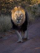 Lion (Panthera leo), male walking on park trail at sunrise, Tswalu Kalahari, South Africa, January