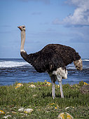 Common Ostrich (Struthio camelopardalis australis), male by seaside, Cape Point, South Africa